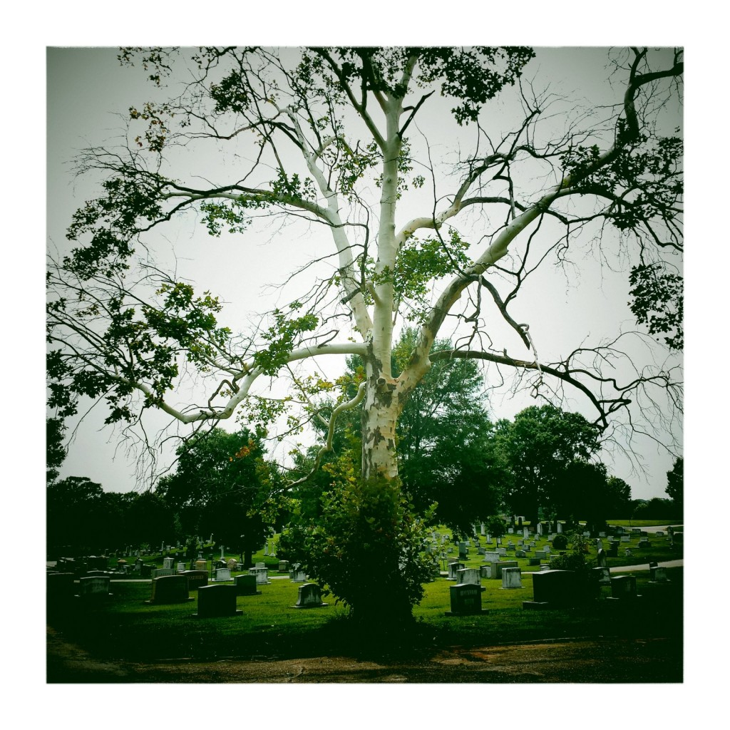 The pale tree of ghosts at Westview Cemetery. 2014